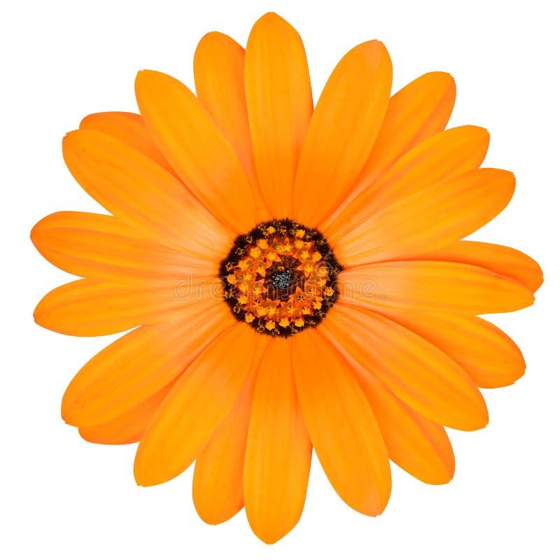 Fleur orange de souci de pot en pleine floraison d'isolement photos stock