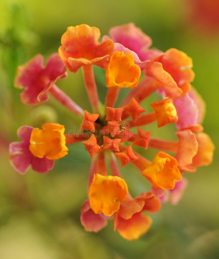fleur orange et rose photo stock image du details detail 14373058. Black Bedroom Furniture Sets. Home Design Ideas