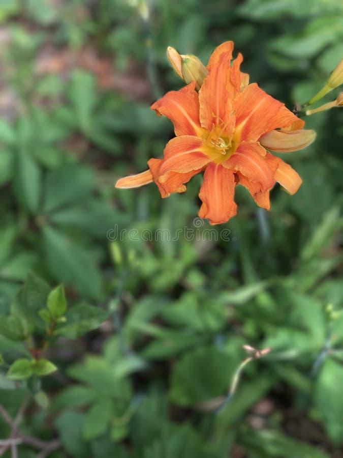 Fleur orange lumineuse photo libre de droits