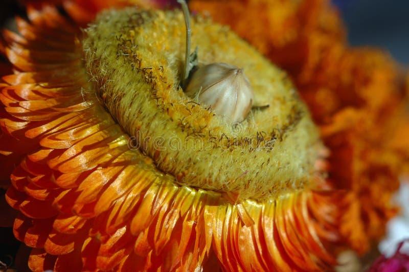 Fleur orange sèche Profondeur de zone photographie stock libre de droits