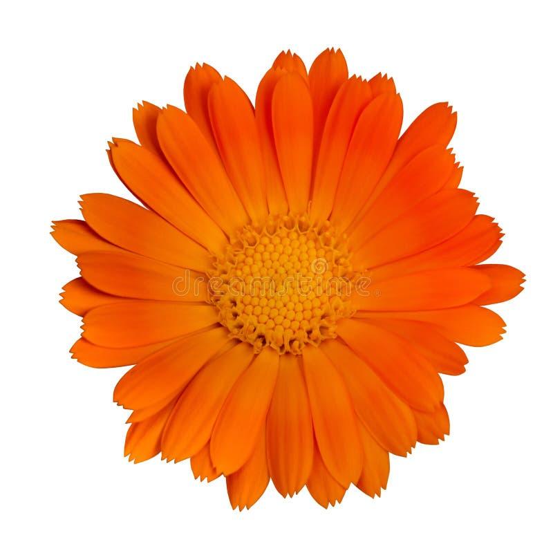 Fleur orange simple photographie stock libre de droits