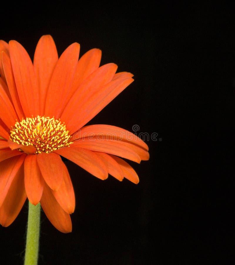 Fleur orange sur le fond noir photos stock