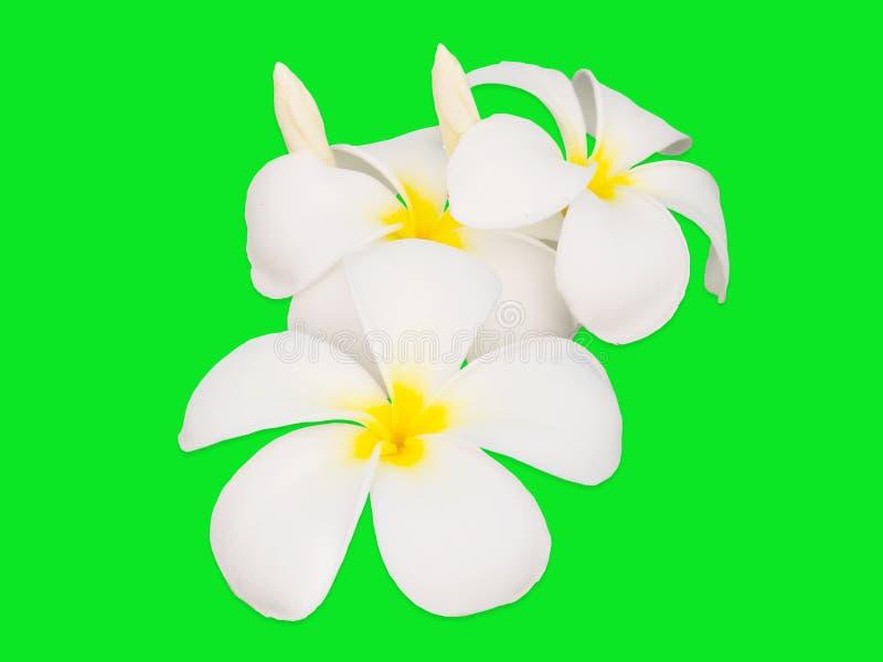 Fleur ou Plumeria de Frangipani d'isolement sur le fond vert photo libre de droits