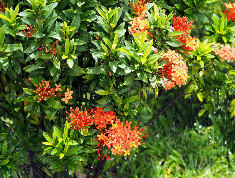 Fleur ou Spike Flower rouge d'Ixora, dans le spalsh de jardin et d'eau photographie stock