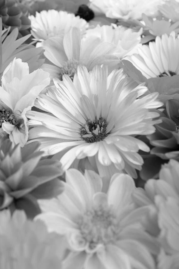 Fleur pâle de calendula parmi les fleurs lumineuses images stock