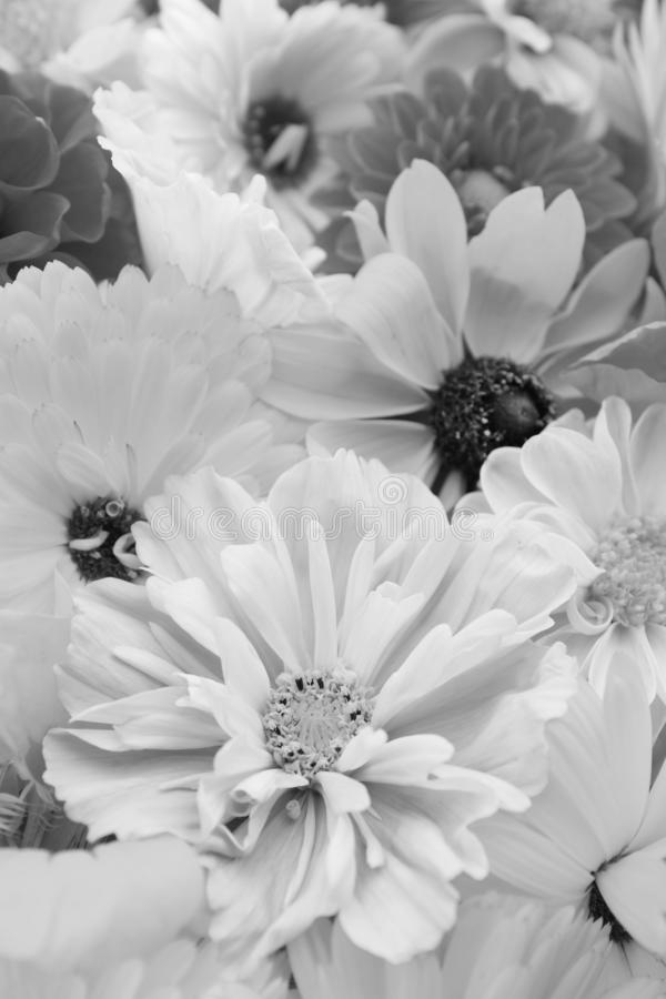 Fleur pâle de cosmos avec des calendulas et des rudbeckias photos stock