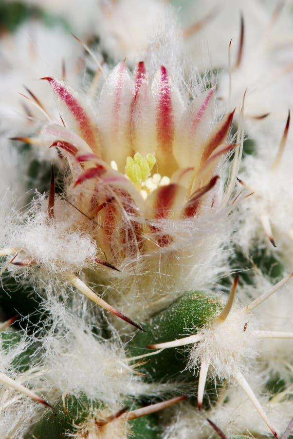 Fleur pâle de mammillaria photos stock