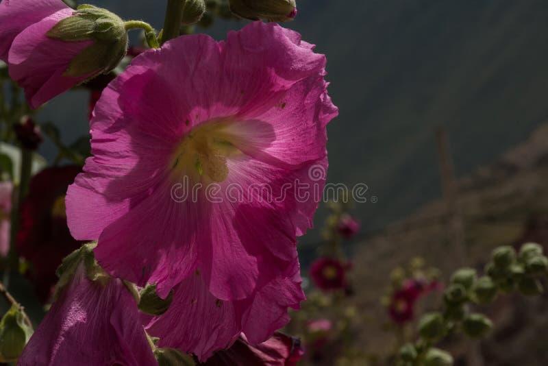 Fleur péruvienne image stock