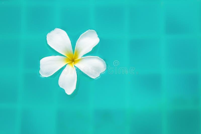 Fleur paisible simple de Plumeria flottant sur l'eau de ondulation claire images stock
