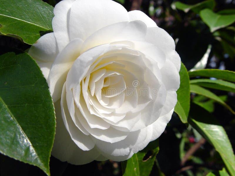 Fleur parfaite photos libres de droits