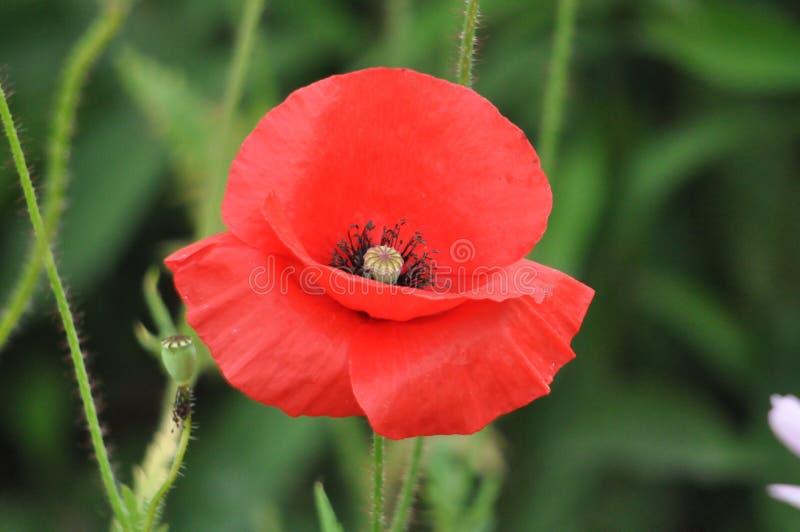 Fleur, pavot image libre de droits