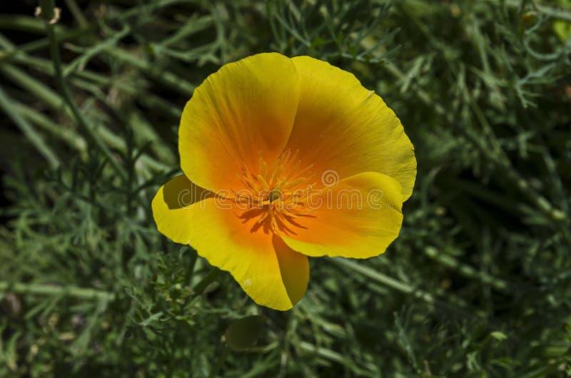 Fleur pavot de Californie ou de californica orange d'Eschscholzia dans la fin de fleur sur le fond vert image stock