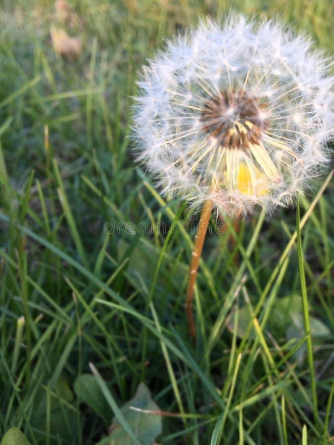 Fleur pelucheuse image libre de droits