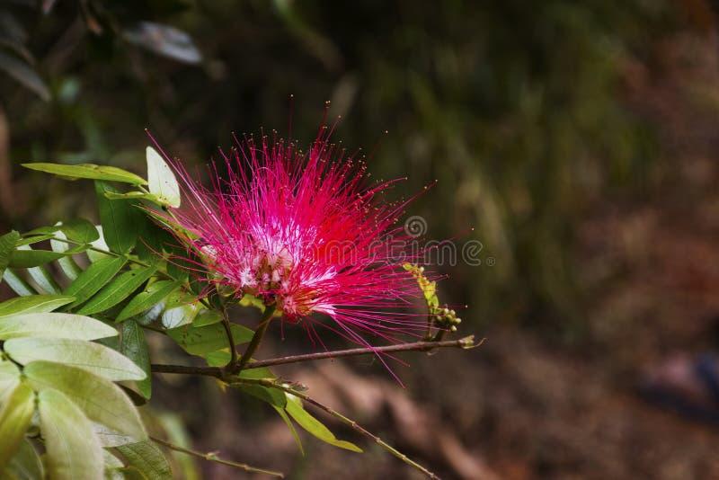 Fleur persane/de rose arbre en soie dedans dehors photos stock