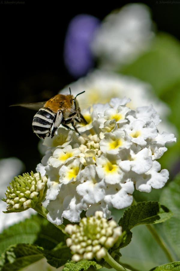 Fleur pollinisée par abeille rayée photographie stock