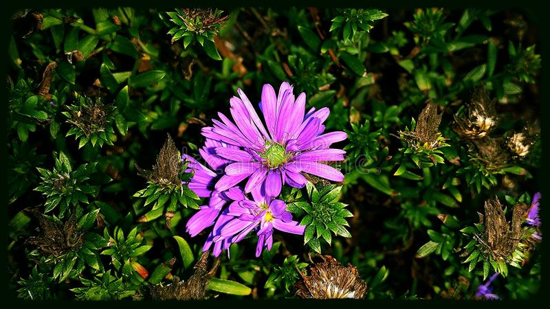 Fleur pourprée photographie stock libre de droits