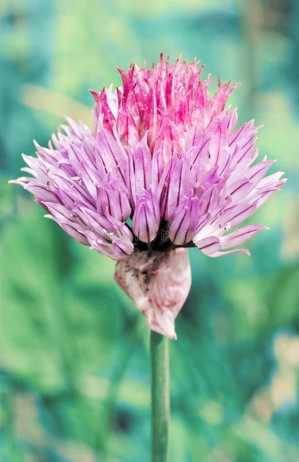 Fleur pourprée abstraite photo stock