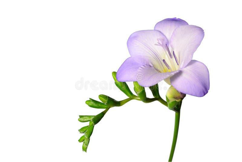 Fleur pourprée de freesia d'isolement sur le blanc photos libres de droits
