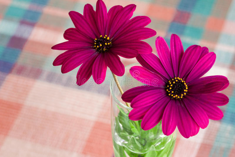 Fleur pourprée de marguerite images stock