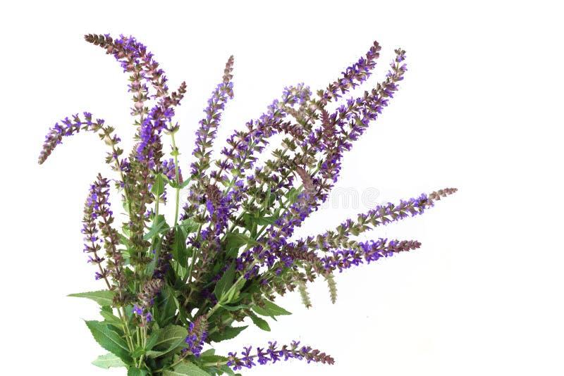Fleur pourprée de sauge de pré photo libre de droits