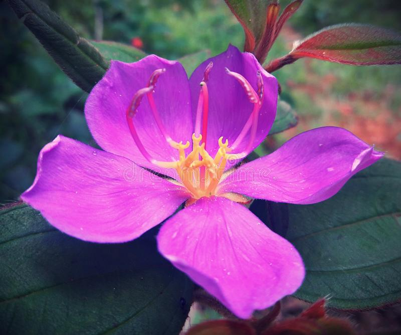 Fleur pourprée sauvage image libre de droits
