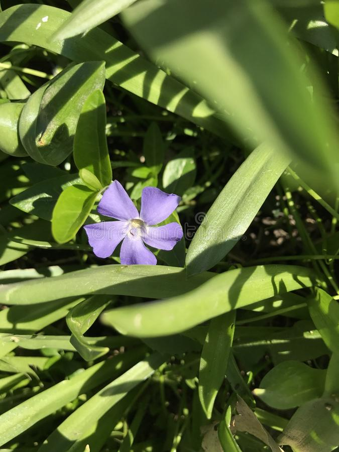 Fleur pourprée simple photos stock