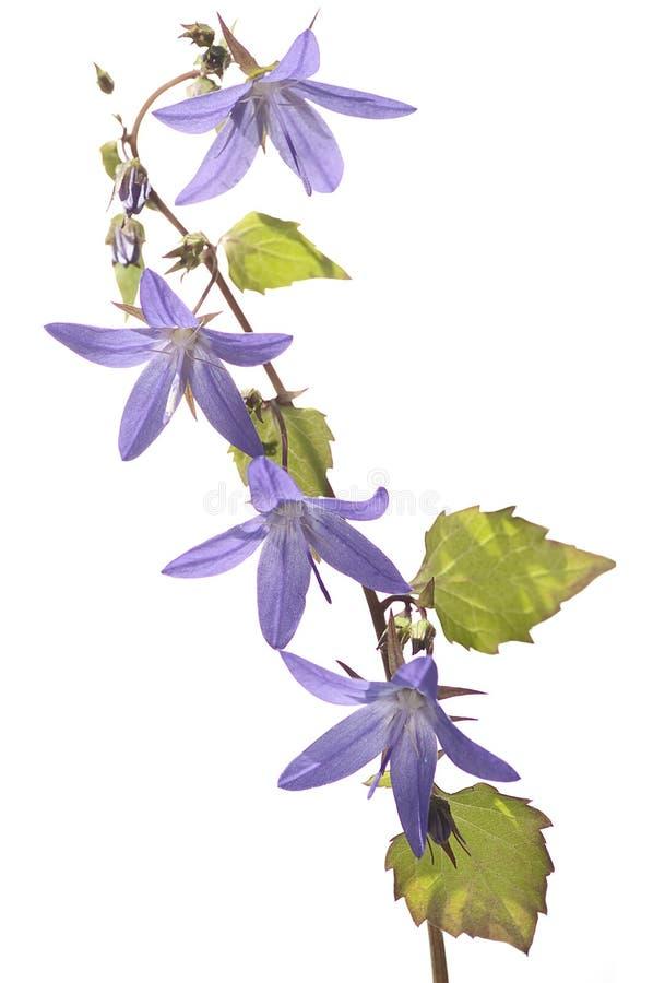Fleur pourprée sur le fond blanc photos libres de droits