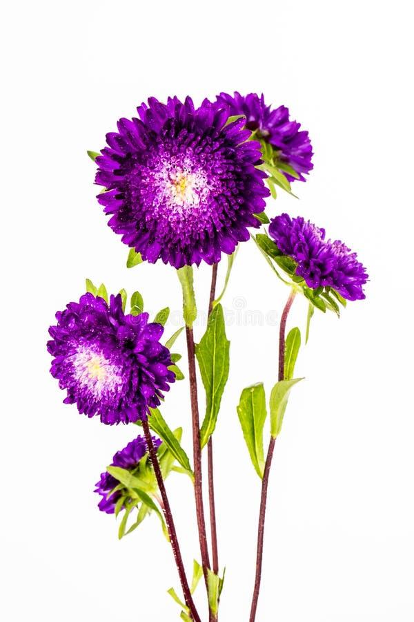 Fleur pourprée sur le fond blanc photo stock