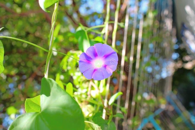 Download Fleur Pourpre à La Lumière Du Soleil De Matin Image stock - Image du floral, vert: 77155765