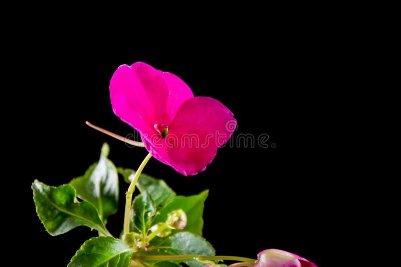 Fleur pourpre avec la feuille verte sur le noir images libres de droits