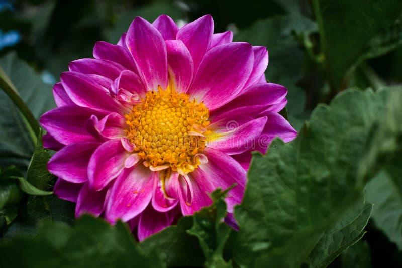Fleur pourpre avec la graine jaune au centre photographie stock libre de droits
