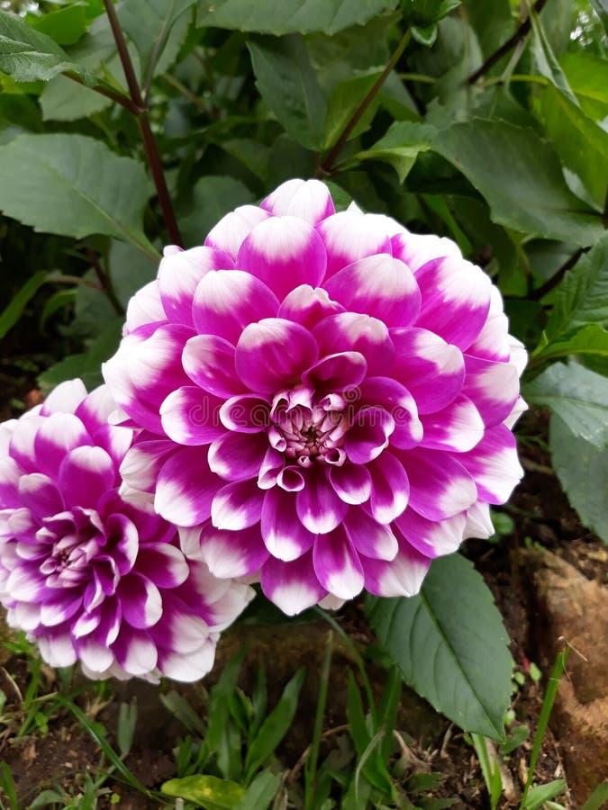 Fleur pourpre blanche image stock