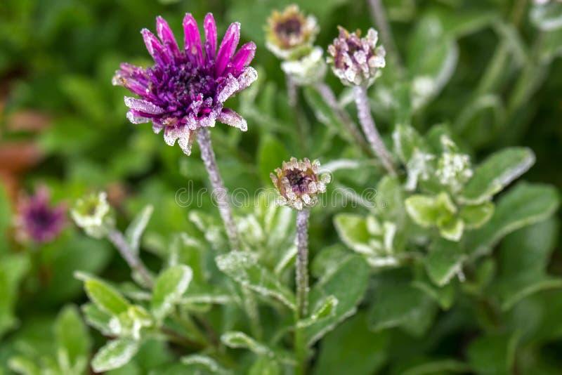 Fleur pourpre congelée avec des cristaux de glace et le gel photographie stock libre de droits