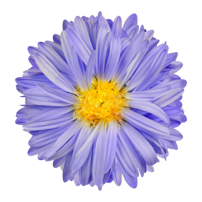 Fleur pourpre d'aster avec l'isolat central jaune sur le blanc image stock