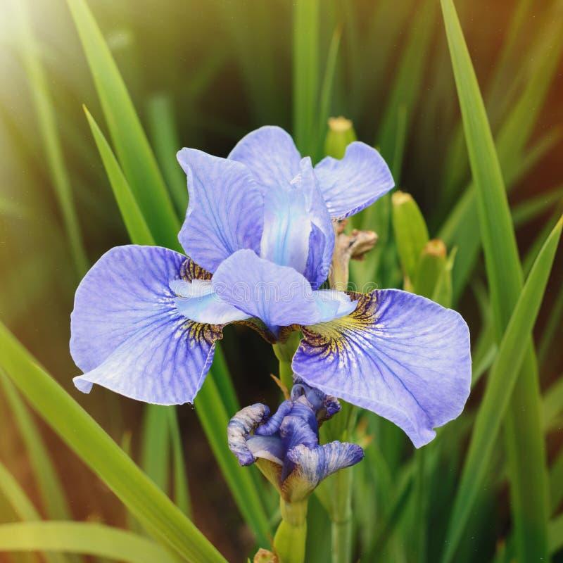 Fleur pourpre d'iris image libre de droits