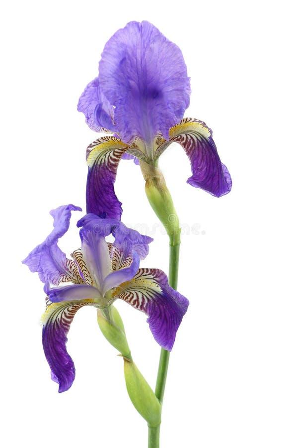 Fleur pourpre d'iris d'isolement sur le blanc photographie stock