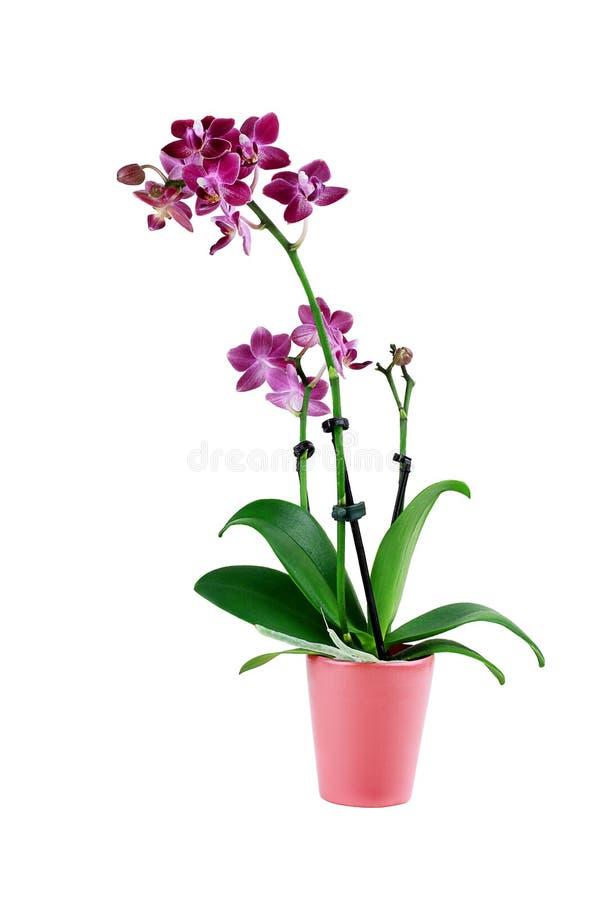 Fleur pourpre d'isolement d'orchidée de Phalaenopsis images stock
