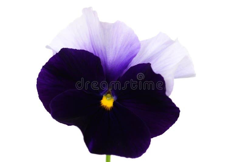 Fleur pourpre d'isolement (pensée) avec le fond blanc photos libres de droits