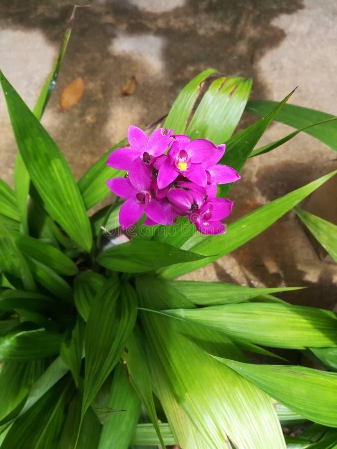 Fleur pourpre d'orchidée de nature de jardin de Sri Lanka image stock