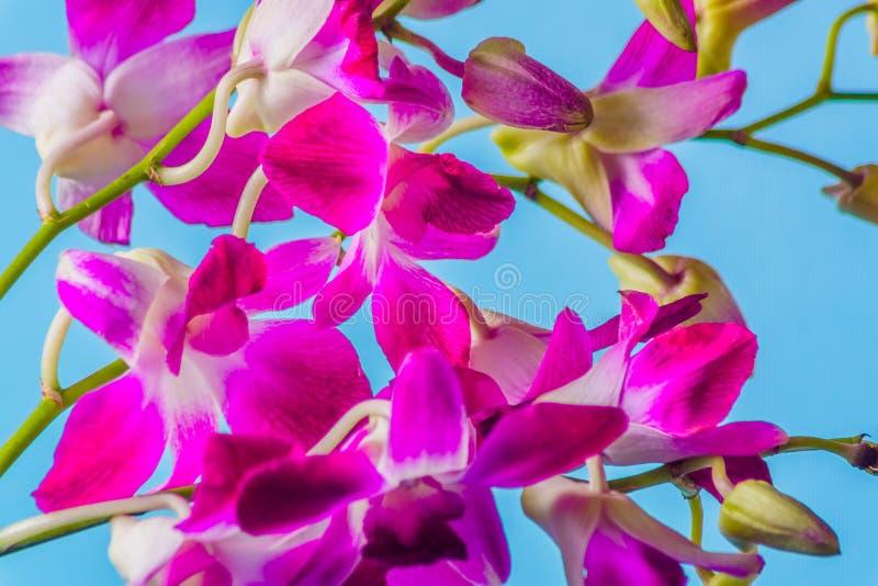 Fleur pourpre d'orchidée sur le fond bleu coloré, tir de studio images stock