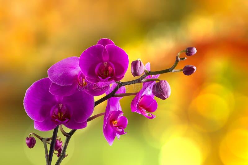 Fleur pourpre d'orchidée sur le fond de tache floue photographie stock
