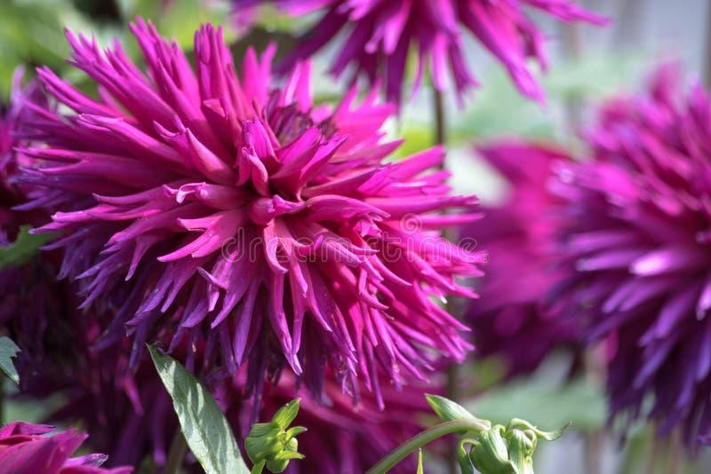 Fleur pourpre d'un dahlia de cactus image stock