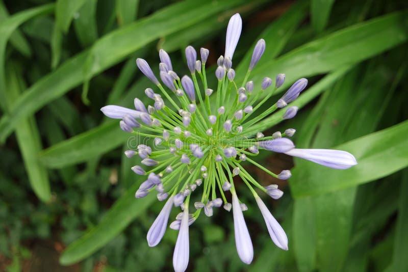Fleur pourpre dans la chambre Clotilde& x27 ; jardin de s photographie stock libre de droits