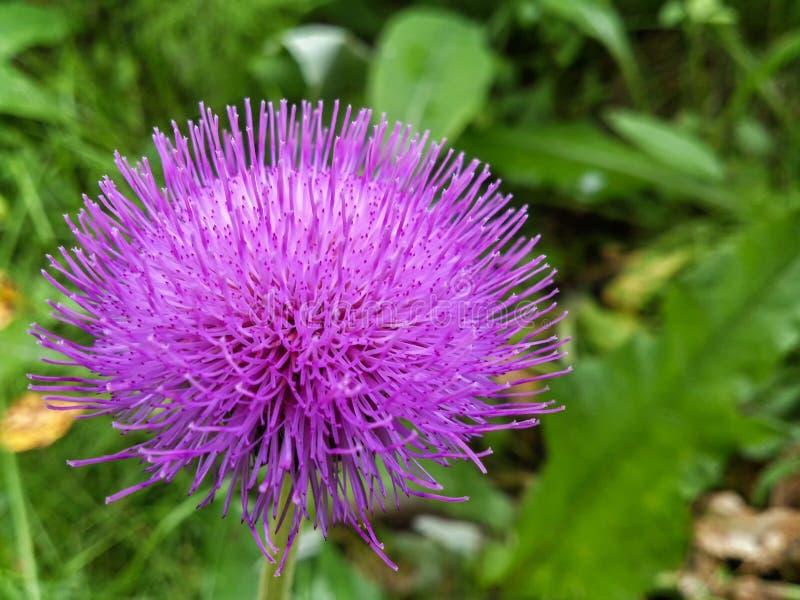 Fleur pourpre de bardane image libre de droits