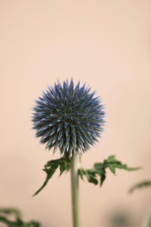 Fleur pourpre de chardon de globe image libre de droits