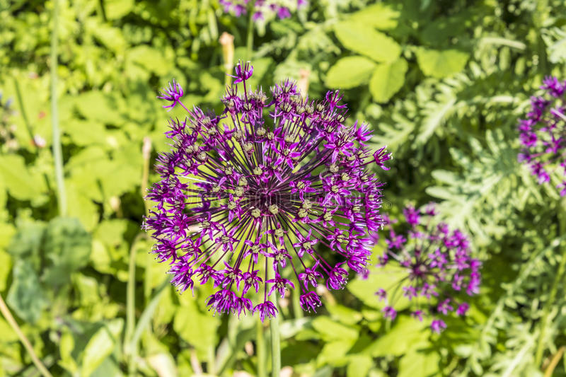 Fleur pourpre de gladiateur d'allium photographie stock libre de droits