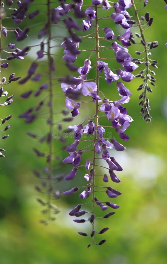 Fleur pourpre de glycine image libre de droits