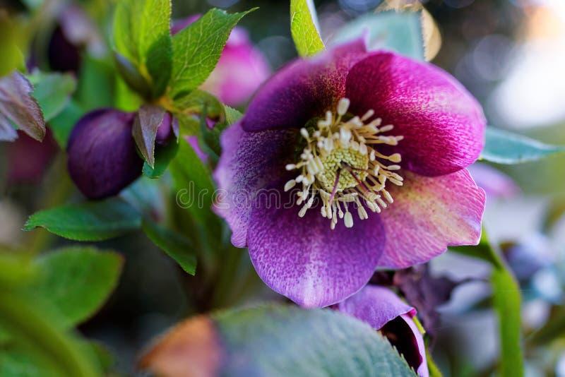 Fleur pourpre de Hellebore en premier ressort images libres de droits