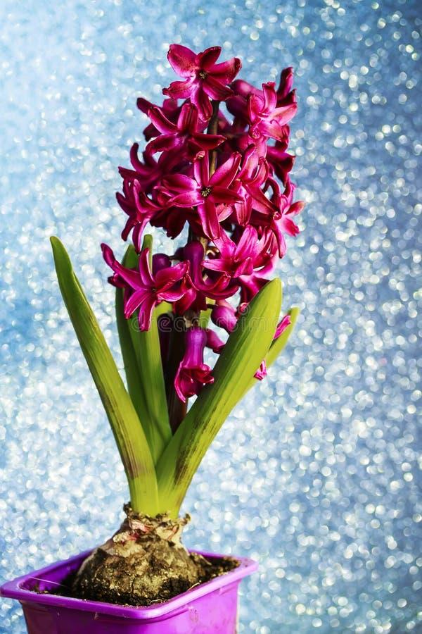 Fleur pourpre de jacinthe de festivités verticales de ressort sur le De d'or photos libres de droits