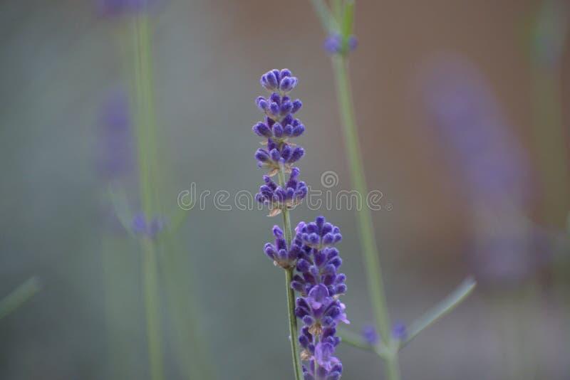 Fleur pourpre de lavande photographie stock